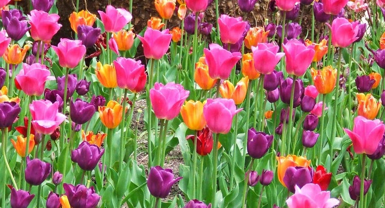 can-transplant-tulips-spring