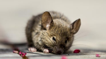How Can You Use Peppermint Oil to Eliminate Mice From a Home?