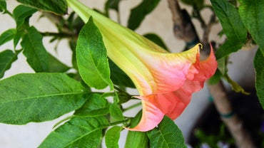 How Can You Winterize Angel Trumpets?