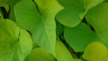 How Can I Winterize a Sweet Potato Vine?