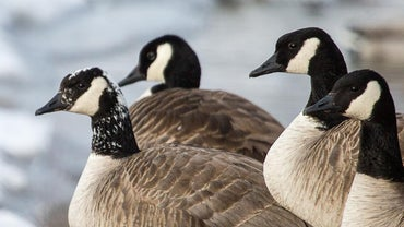 What Do Canadian Geese Eat?