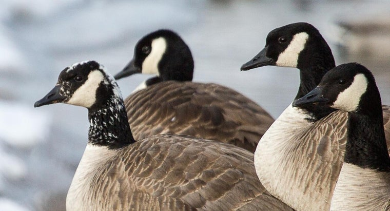 canadian-geese-eat