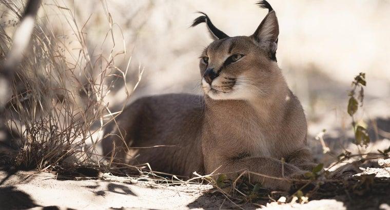 caracal-kittens