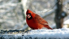 What Do Cardinals Eat?
