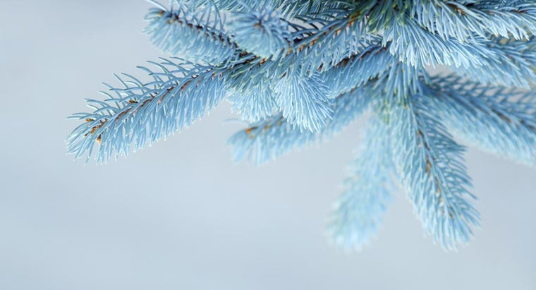 care-blue-spruce-tree