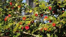 How Do You Care for a Camellia Bush?