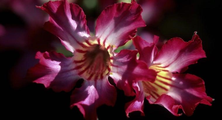 care-desert-rose-plants