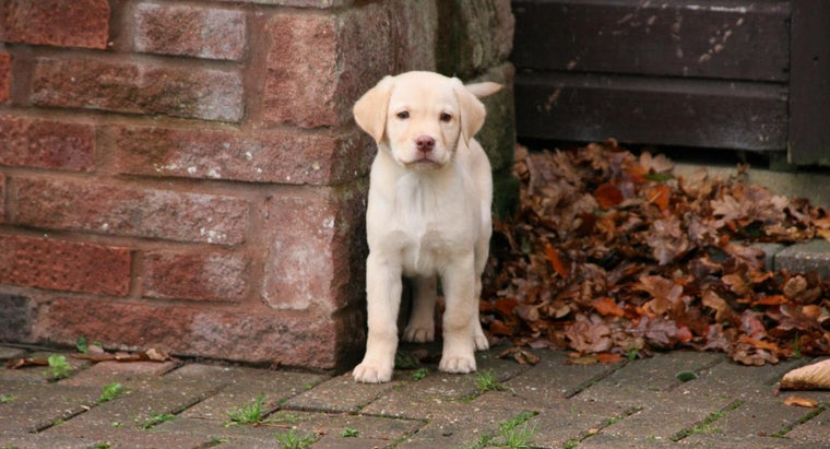 care-labrador-puppy