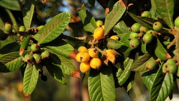 How Do You Care for a Loquat Tree?