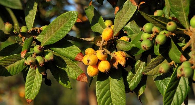 care-loquat-tree