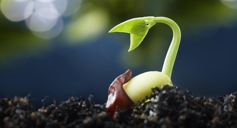 care-lucky-bean-plant