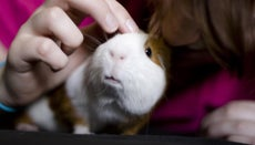How Do You Take Care of the Nails of Guinea Pigs?