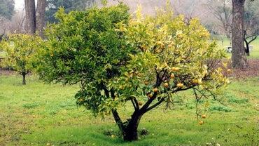 How Do You Care for Orange Trees?