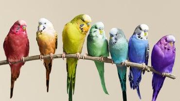 How Do You Care for Parakeet Eggs When Breeding Birds?