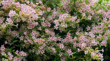 How Do You Care for Pink Jasmine Vine?