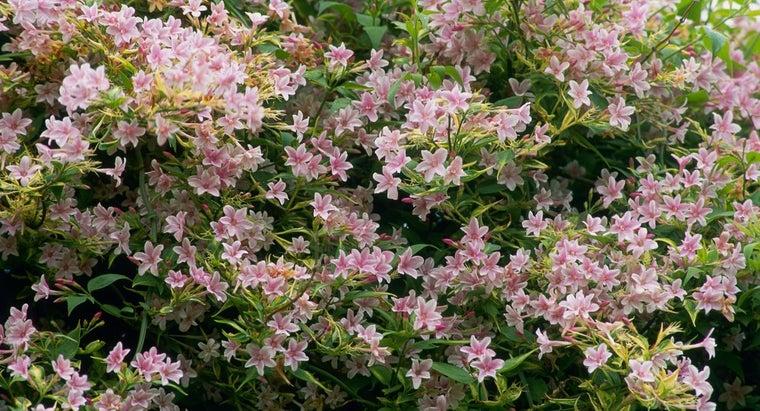 care-pink-jasmine-vine