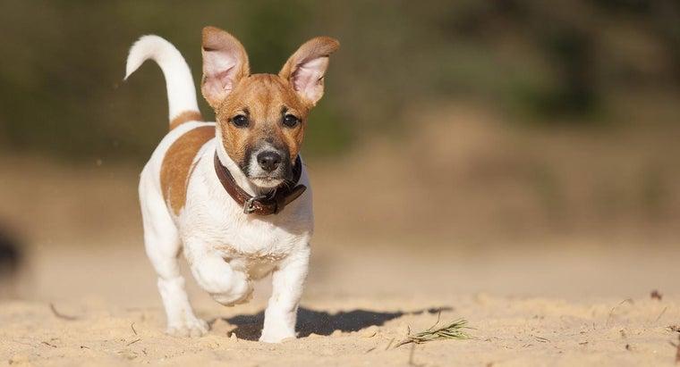 care-short-legged-jack-russell-terrier