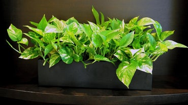 What Are Some Care Tips for a Neon Pothos?