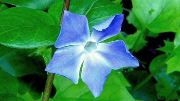 How Do You Take Care of Vinca?