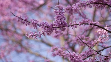 How Do You Care for a Weeping Redbud Tree?