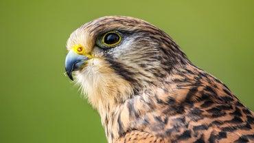 How Do You Catch a Falcon?