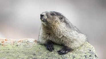 How Do You Catch a Groundhog?