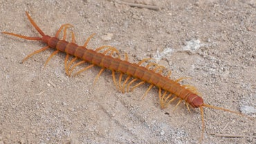 Are Centipedes Poisonous?