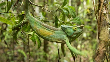 How Do Chameleons Adapt to Their Surroundings?