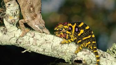 How Do Chameleons Reproduce?