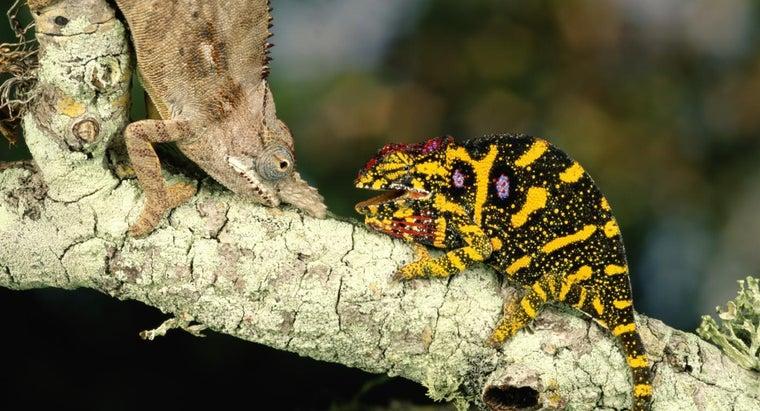 chameleons-reproduce