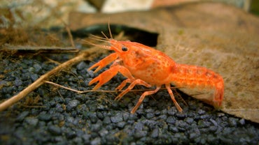 What Are the Characteristics of a Dwarf Crayfish?