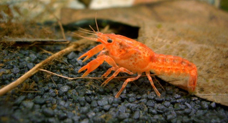 characteristics-dwarf-crayfish
