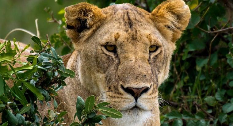 cheetah-lion-animal-hunting-technique