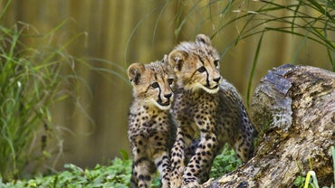 How Do Cheetahs Take Care of Their Young?