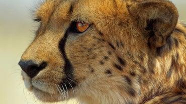 How Do Cheetahs Reproduce?