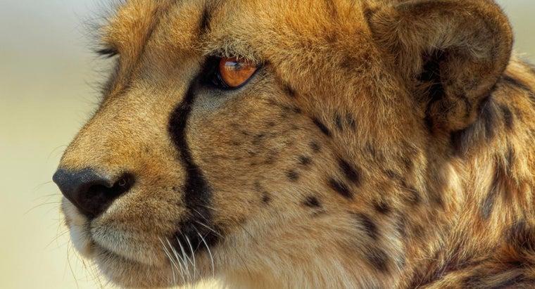 cheetahs-reproduce