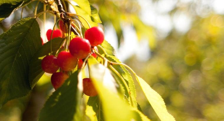 cherries-grow