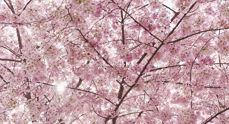 cherry-blossom-s-meaning