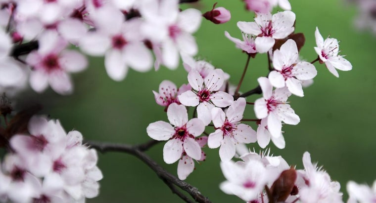 cherry-blossoms-represent-japanese-tattoos