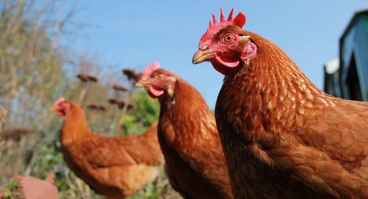 chicken-mammal