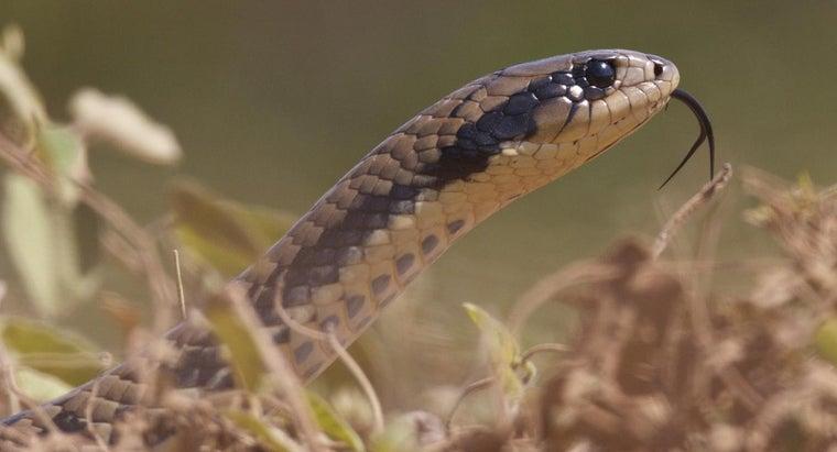 chicken-snakes-dangerous