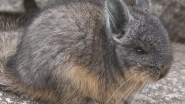 Why Does a Chinchilla Make a Weird Noise at Night?