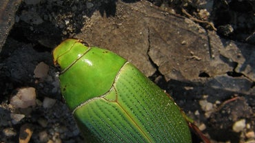 What Do Christmas Beetles Eat?