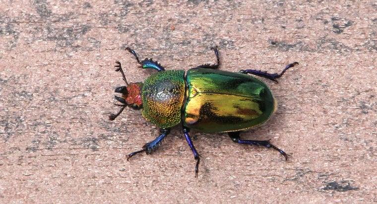 christmas-beetles-live