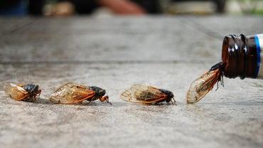 Where Do Cicadas Live?