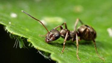 Does Cinnamon Kill Ants?