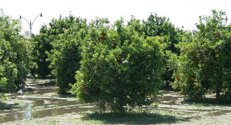 climate-suits-citrus-tree