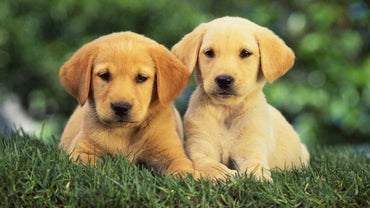 Will the Coats of Dark Golden Retriever Puppies Change Over Time?