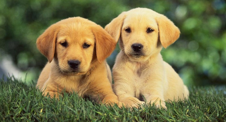coats-dark-golden-retriever-puppies-change-over-time