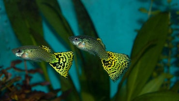 What Is a Cobra Guppy?